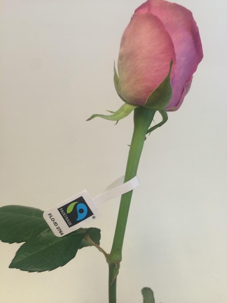 Rosa Mix40