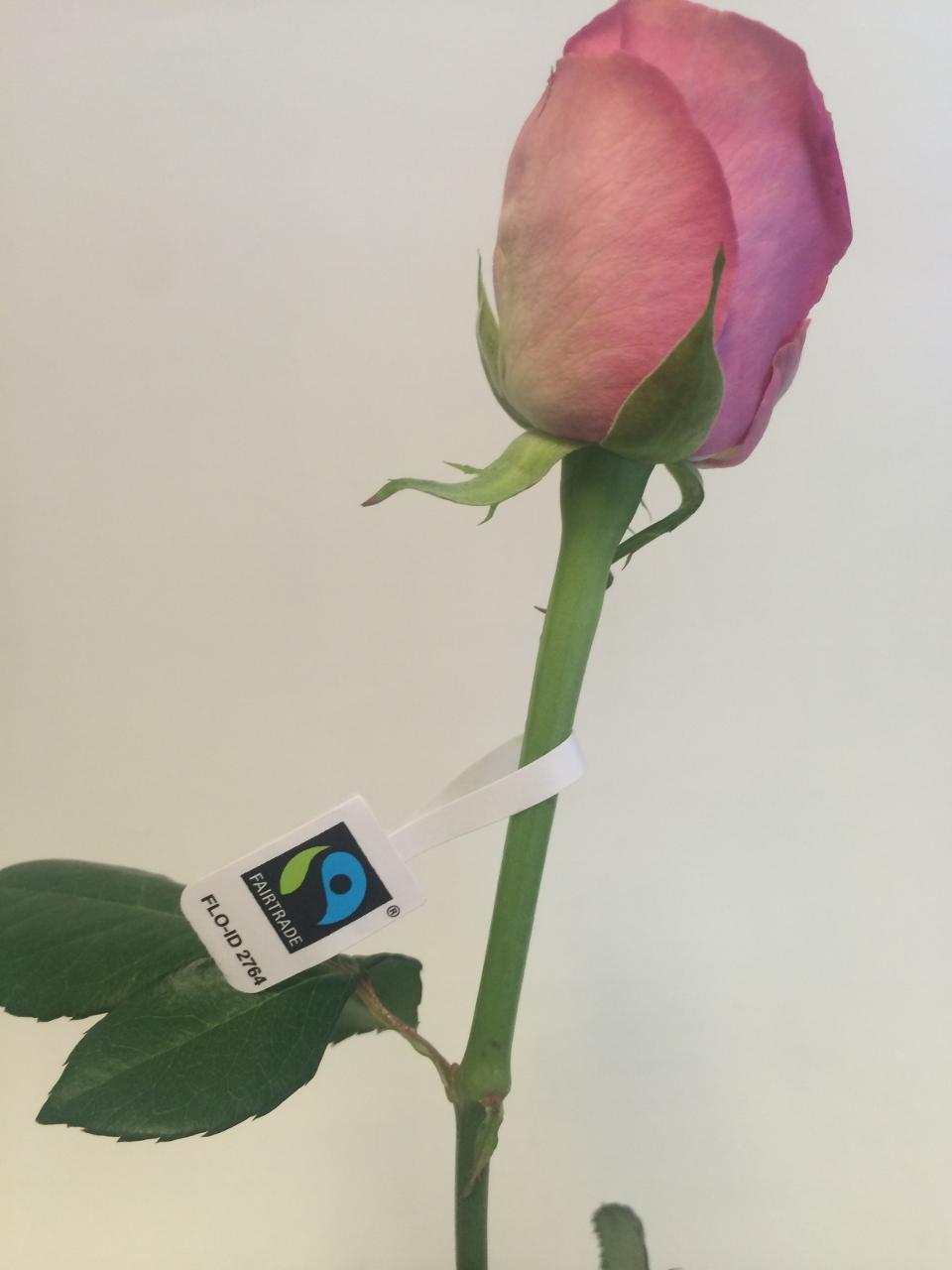 Rosa Mix Premium FTR